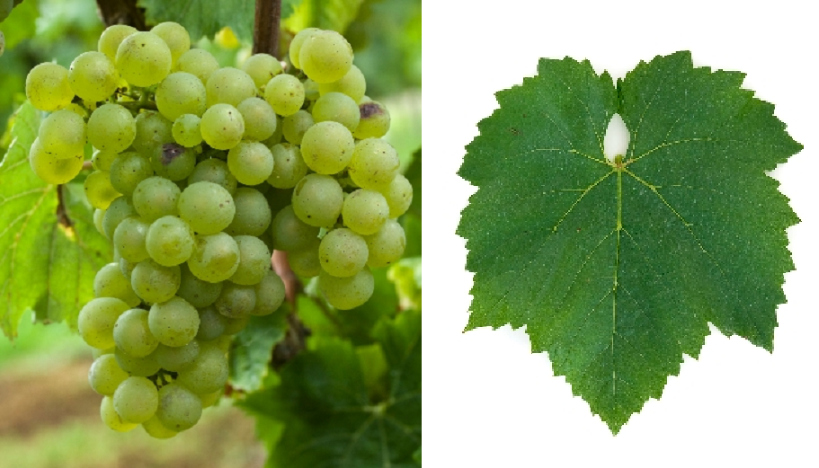 Morillon (Chardonnay) - grape and leaf