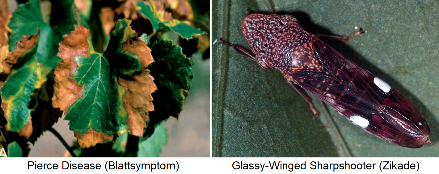Pierce Disease - Leaf Symptoms and Glassy Winged Sharpshooter (Cicada)