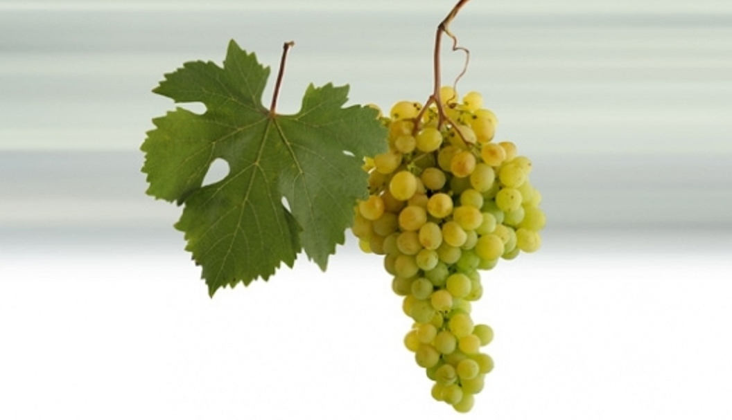 Yulski Biser - grape and leaf