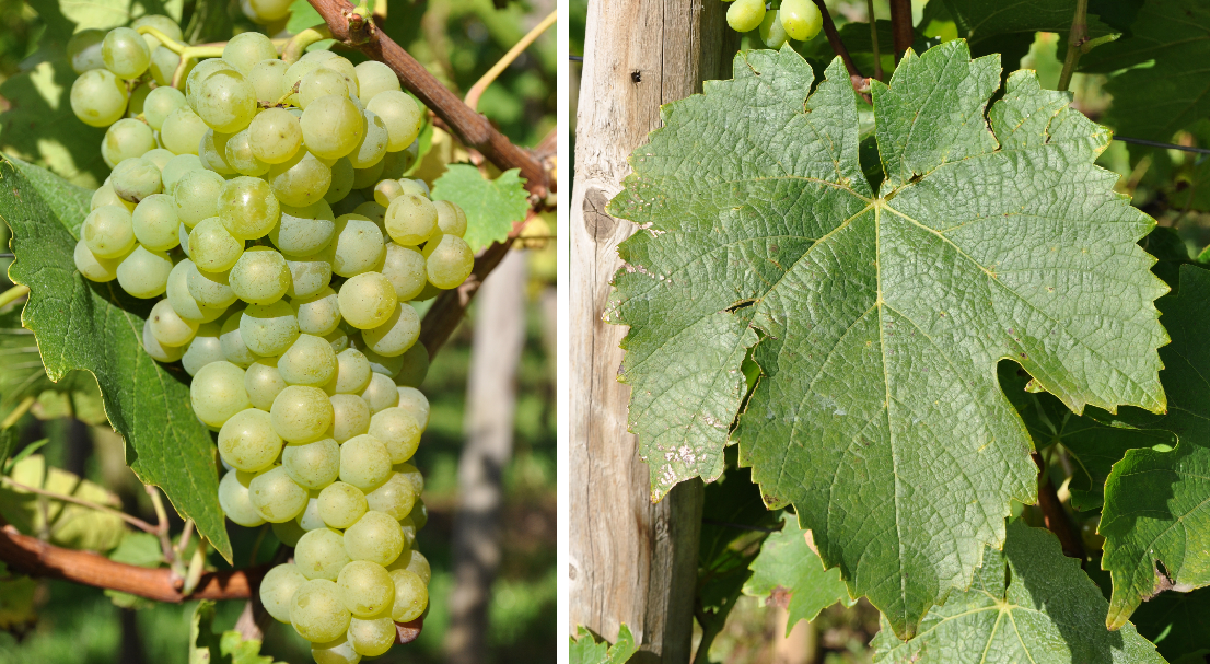 Orléans (grape variety) - grape and leaf