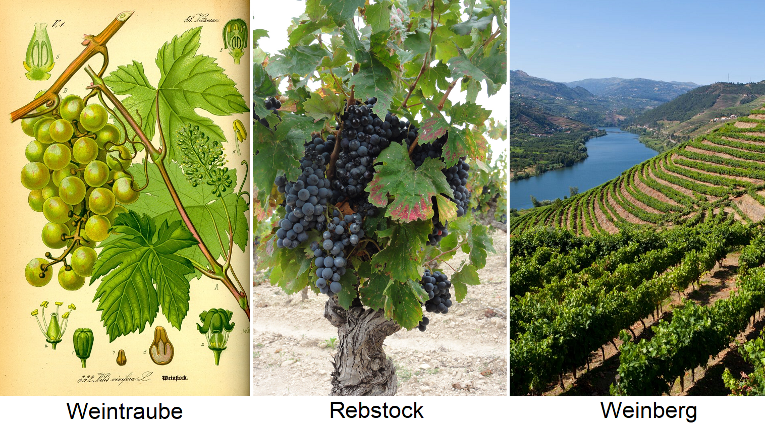 Grapevine - grape, vine and vineyard