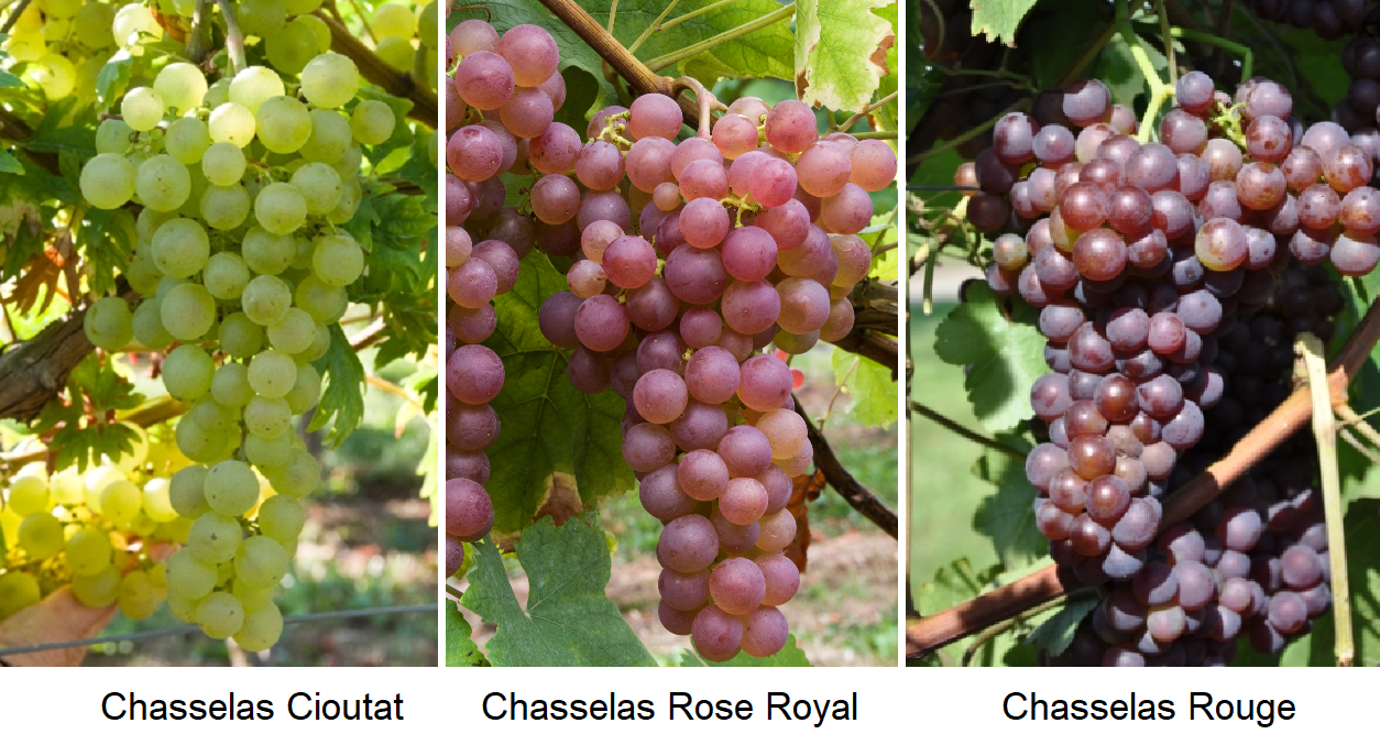 Chasselas - Chasselas Cioutat, Chasselas Rose Royal and Chasselas Rouge