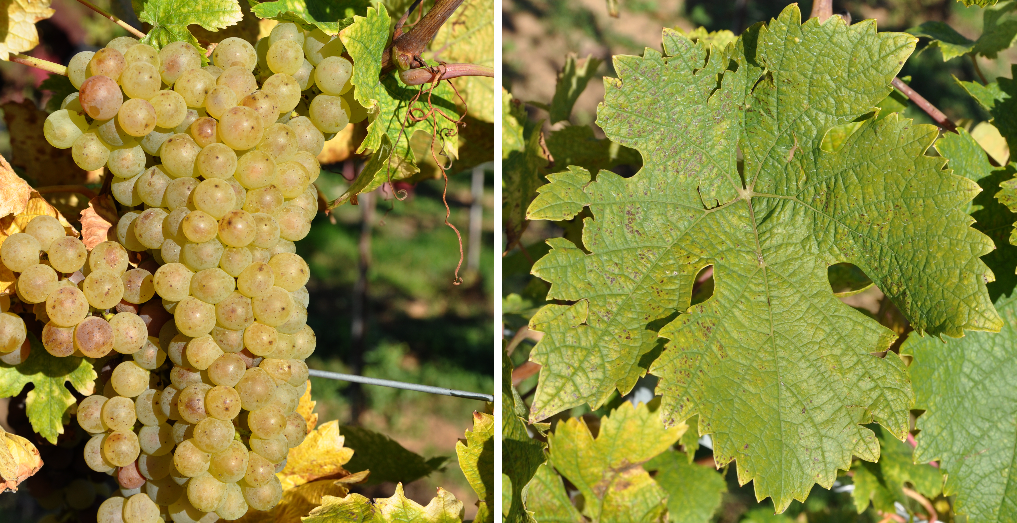 Rabaner - grape and leaf