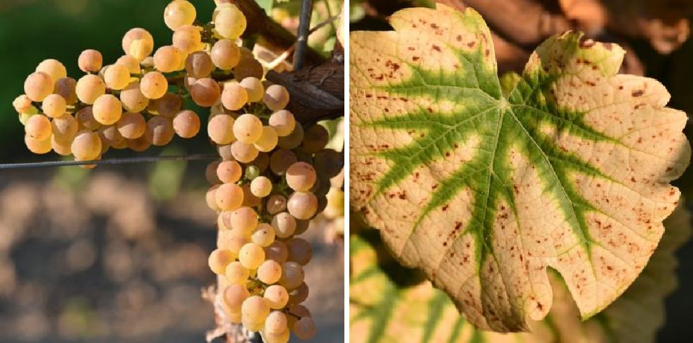 Calardis Blanc - grape and leaf