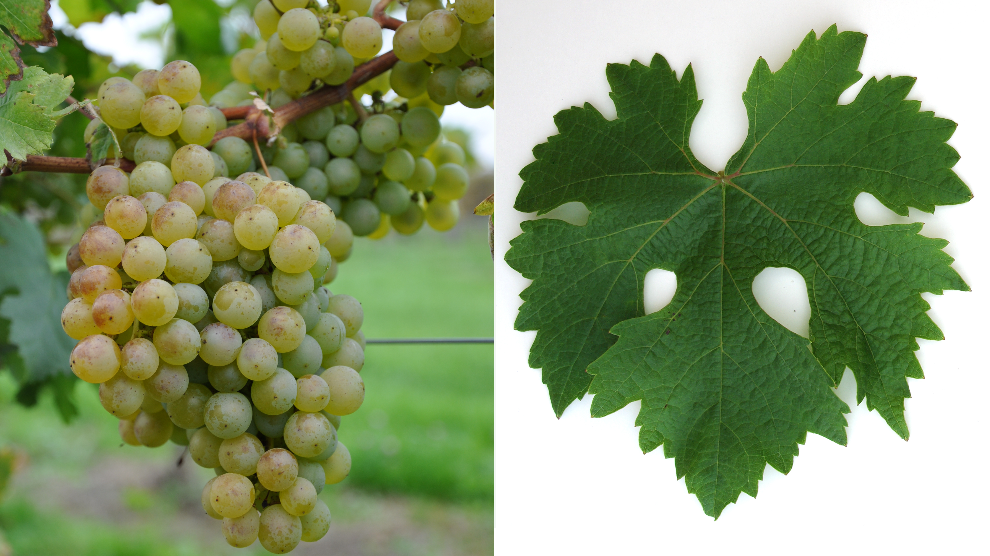 Chasan - grape and leaf