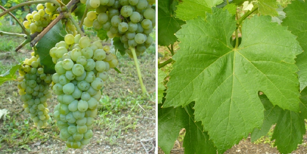 Perera - grape and leaf