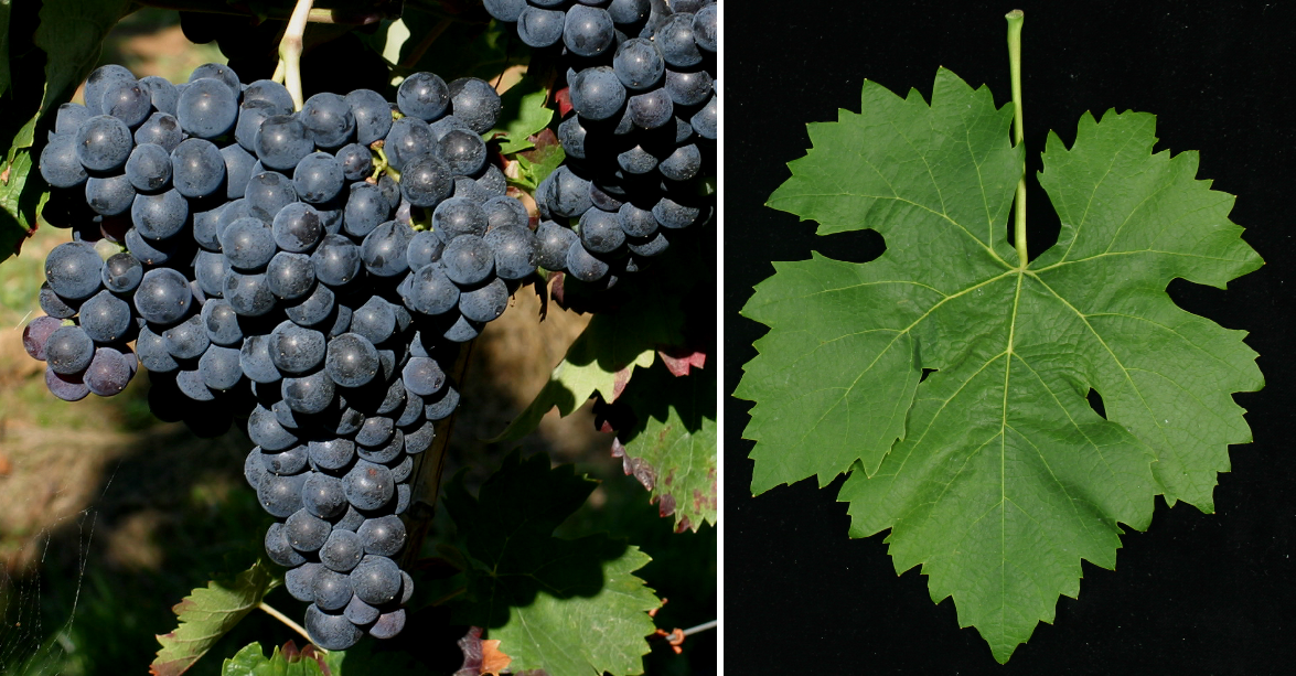 Monastrell (Mourvèdre) - grape and leaf