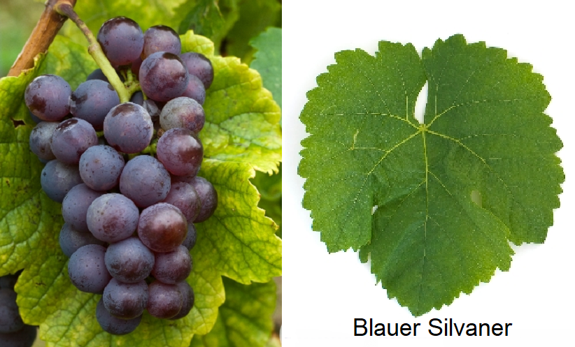 Silvaner - Blauer Silvaner (grape and leaf)