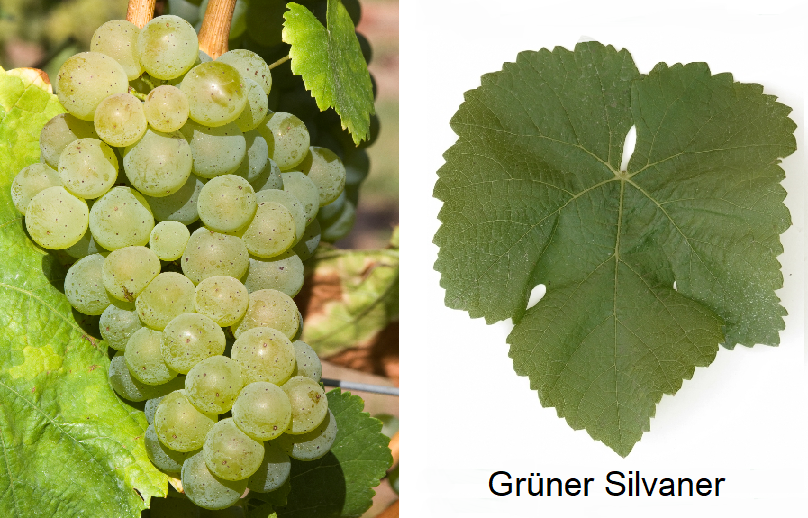 Silvaner - Grüner Sylvaner (grape and leaf)