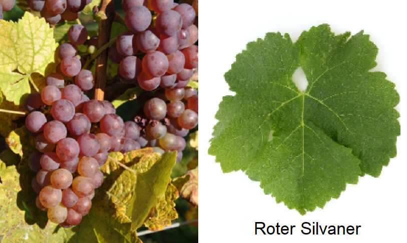 Silvaner - Red Silvaner (grape and leaf)