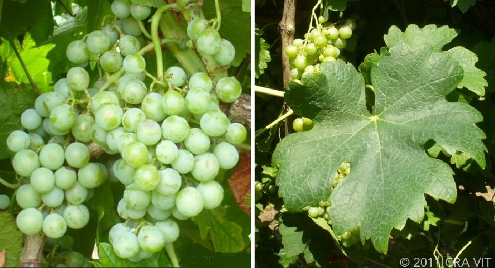 Retagliado Bianco - grape and leaf