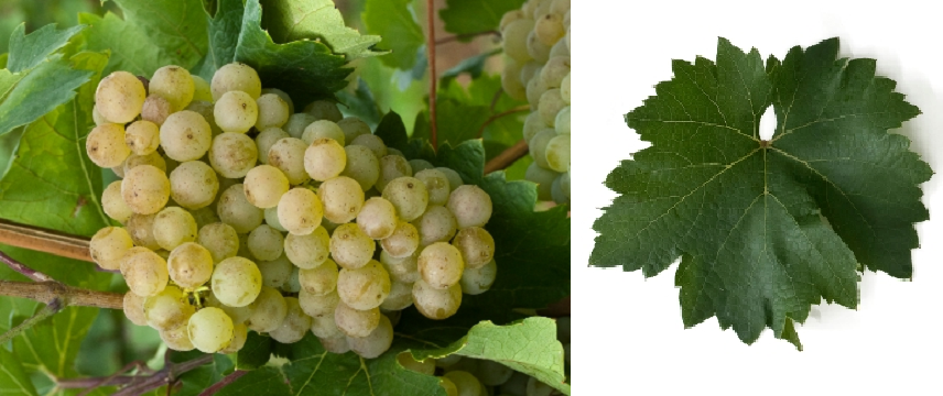 Eger 1 - grape and leaf