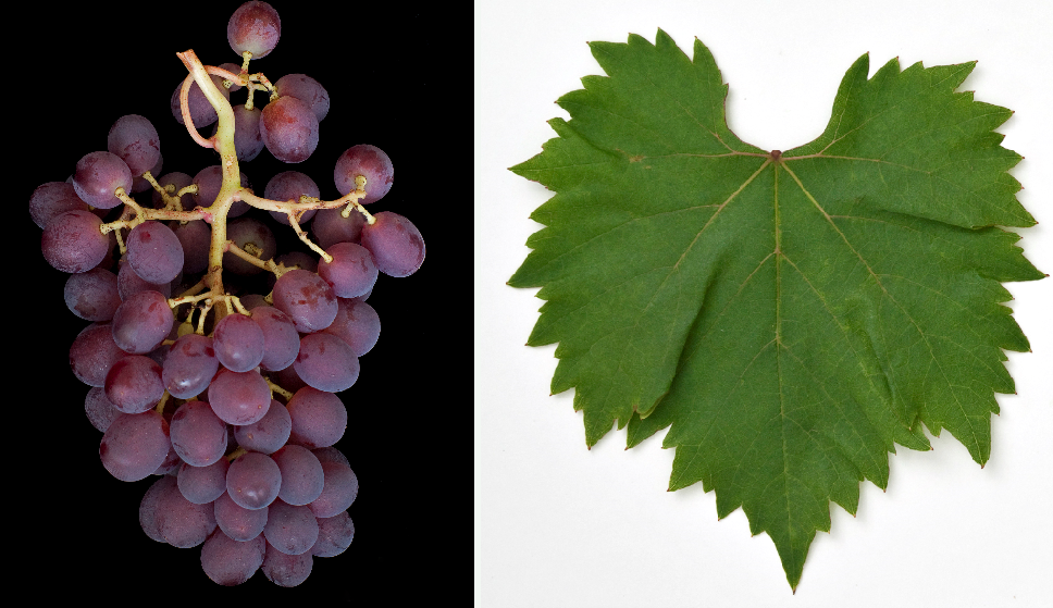 Lidi - grape and leaf