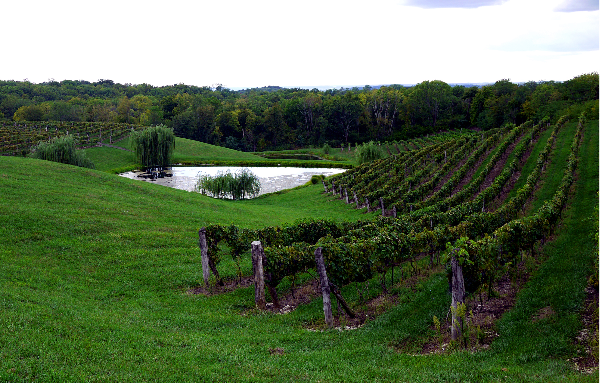 Ohio - Vineyards with Landot Noir Vines