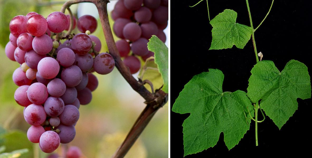 Yates - grape and leaf