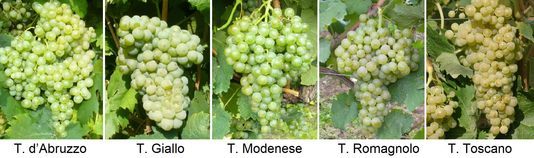 Trebbiano - T. d'Abruzzo, T. Giallo, T. Modenese, T. Romagnolo, Toscano