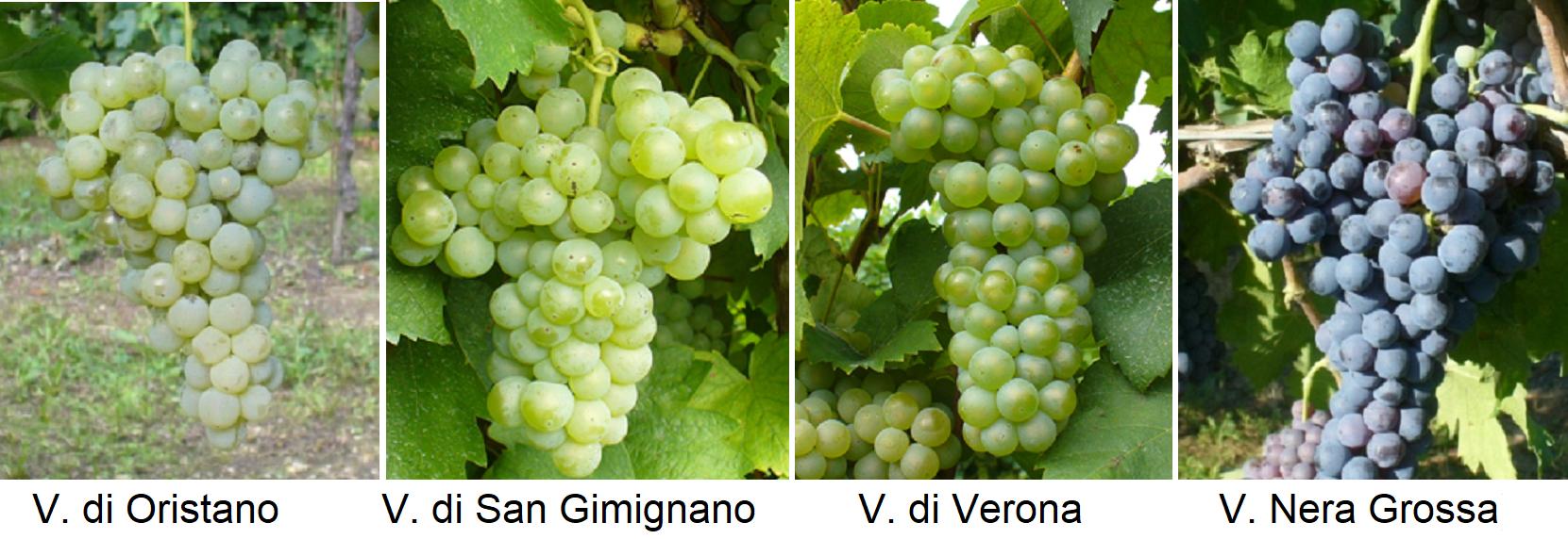 ernaccia - V. di Oristano, V. di San Gimignano, V. di Verona, V. Nera Grossa
