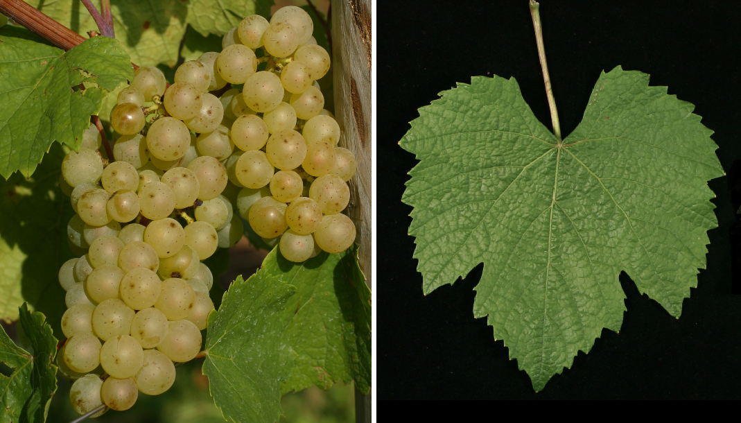 Auxerrois - grape and leaf