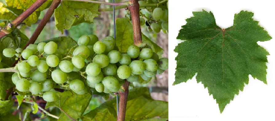 Bermestia Bianca - grape and leaf