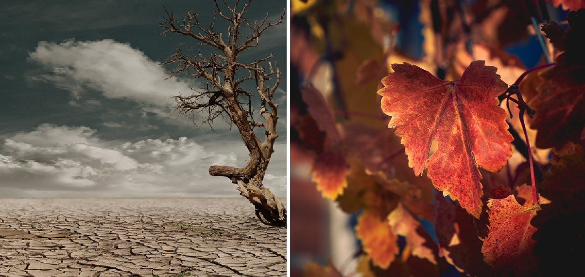 Drought - dry soil with withered tree and withered vine leaf