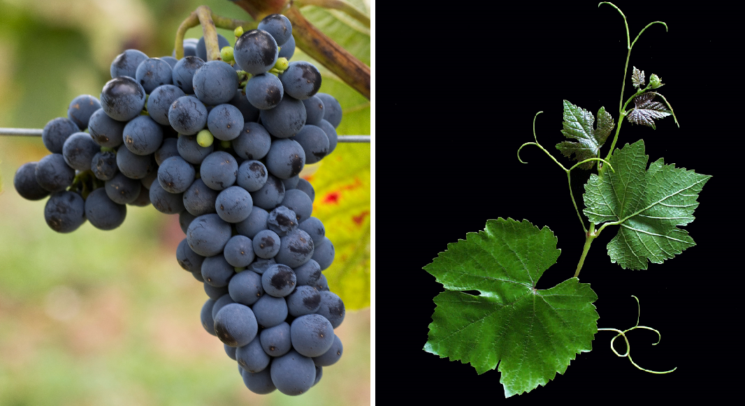 Rathay - grape and leaf