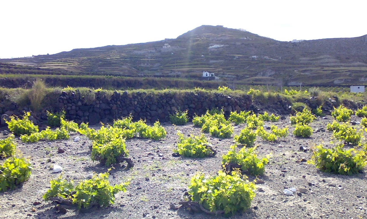 Santorini - vineyards with the typical Kouloura system