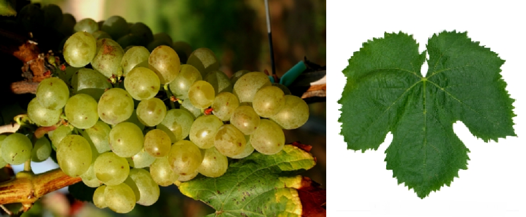 Assyrtiko - grape and leaf