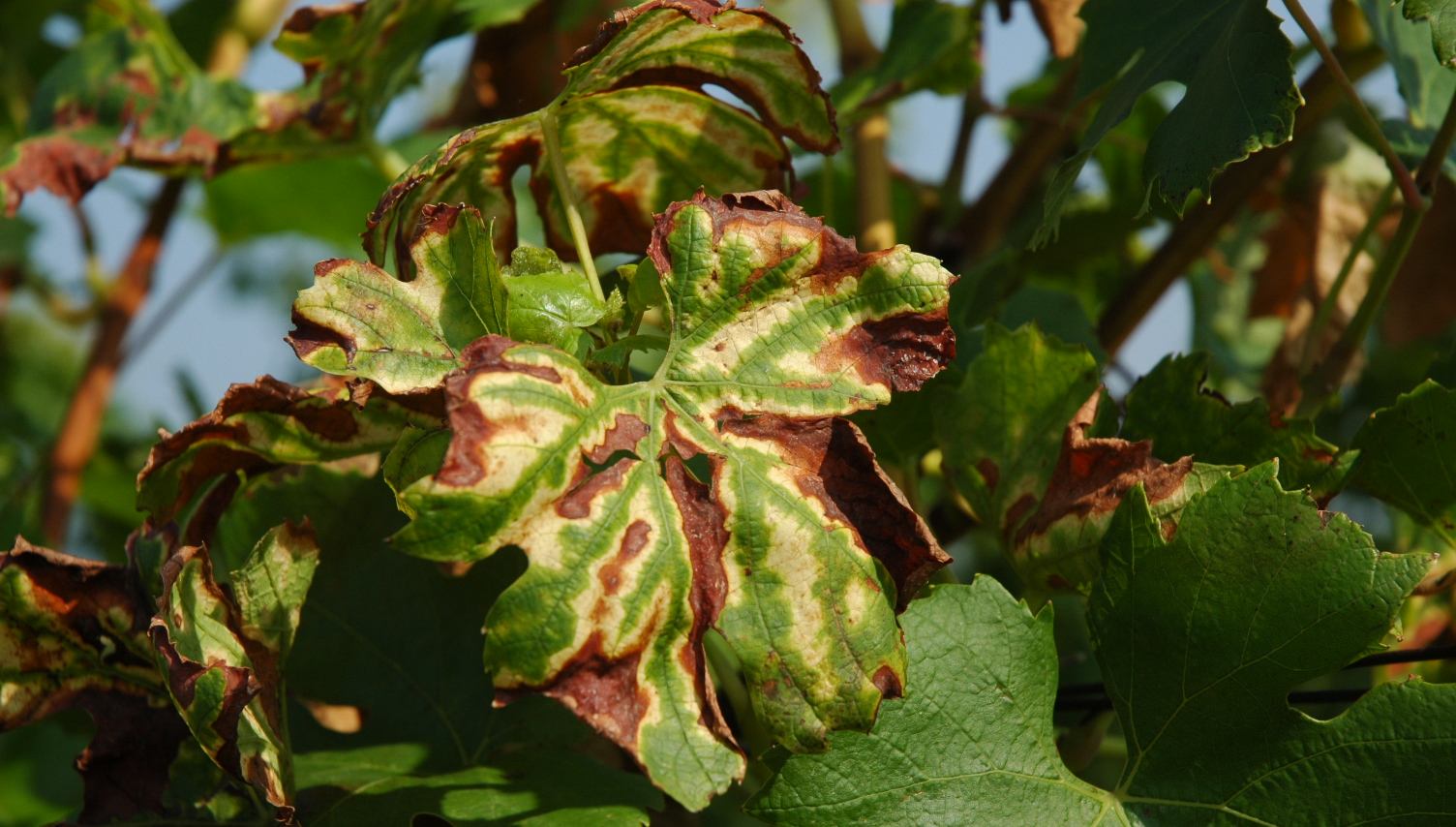 Esca - leaf damage