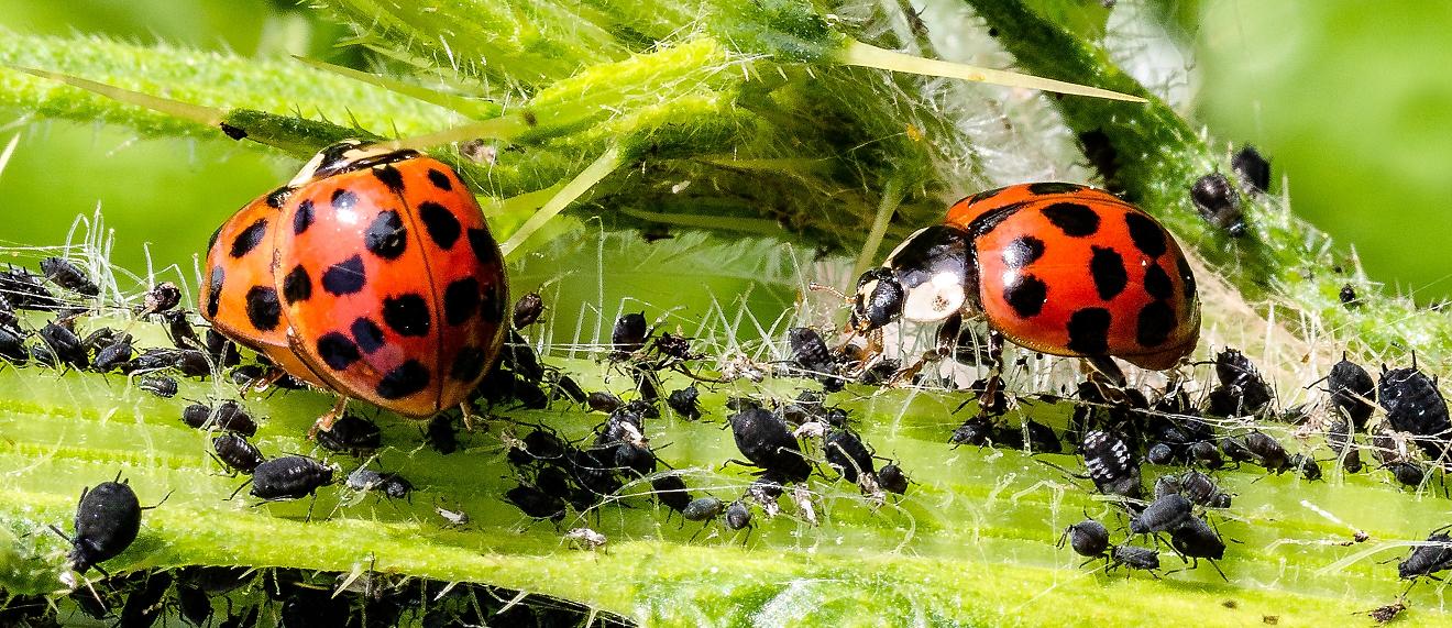 Ladybugs - eat aphids
