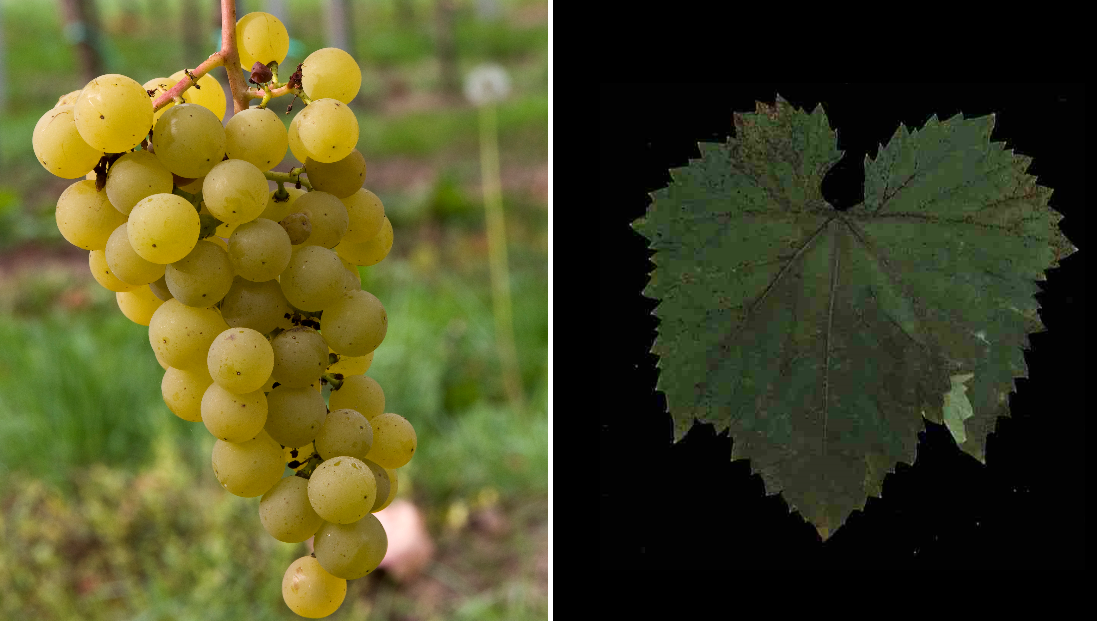 Blanc du Bois - grape and leaf