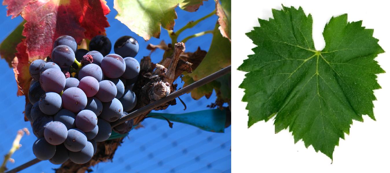 GHarnacha Tinta (Grenache Noir) - grape and leaf