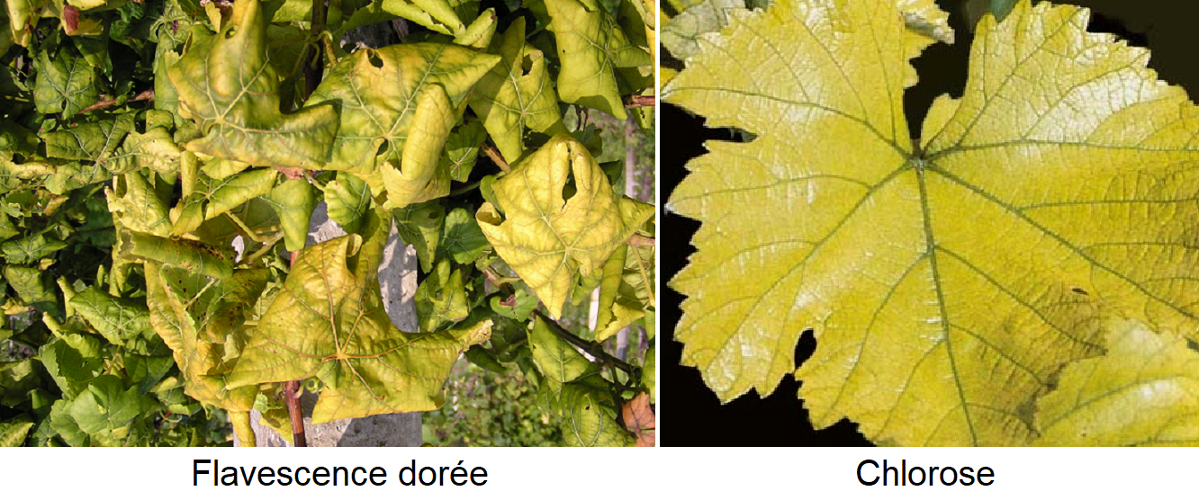 Yellowing - Flavescence dorée and chlorosis (leaf)