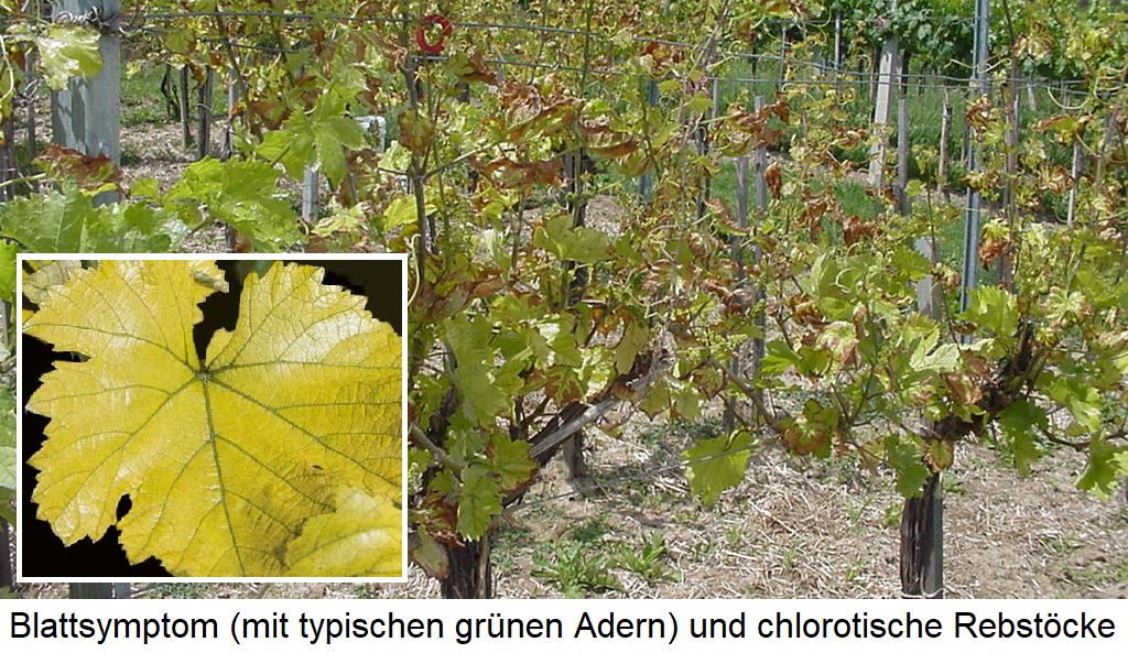 Chlorosis - chlorotic vines and a yellowed leaf