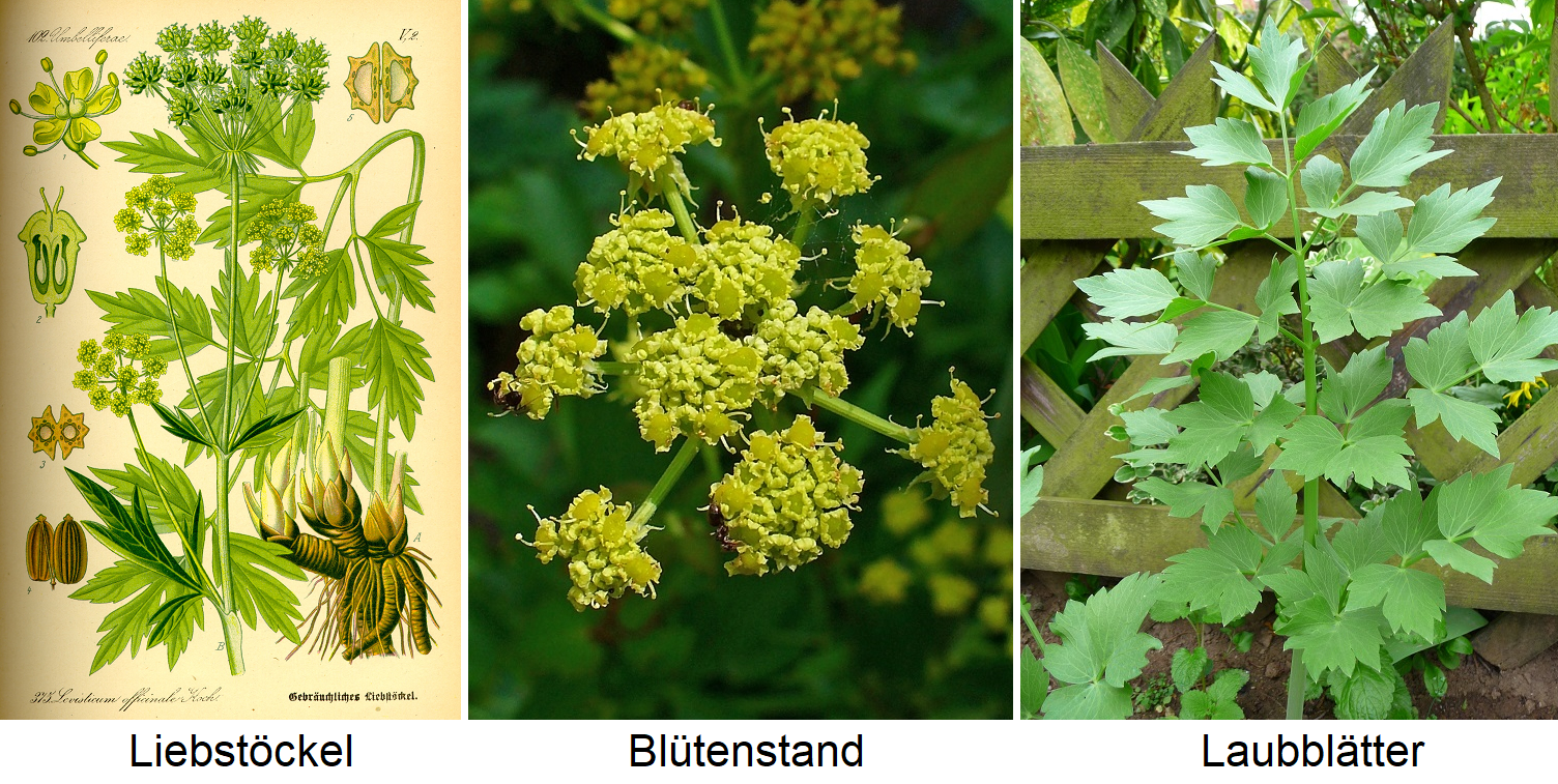Lovage - illustration, inflorescence and leaves