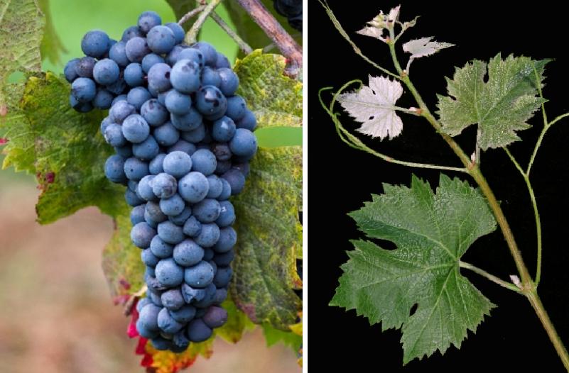 Plamennyi - grape and leaf