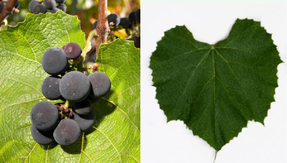 Champanel - grape and leaf