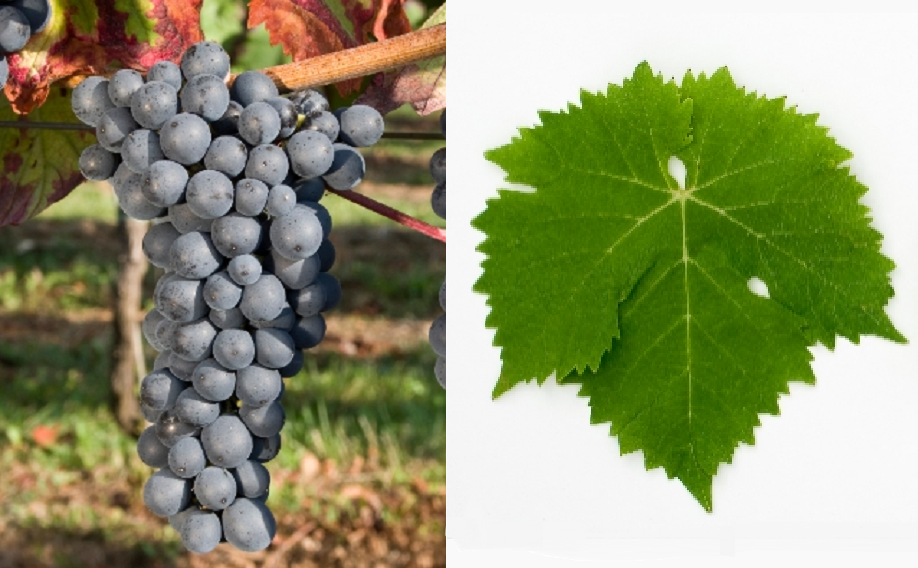 Jagodinka - grape and leaf