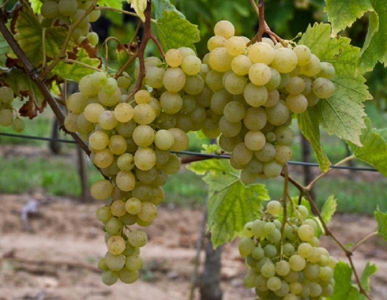 Evita Blanche - vine with grapes