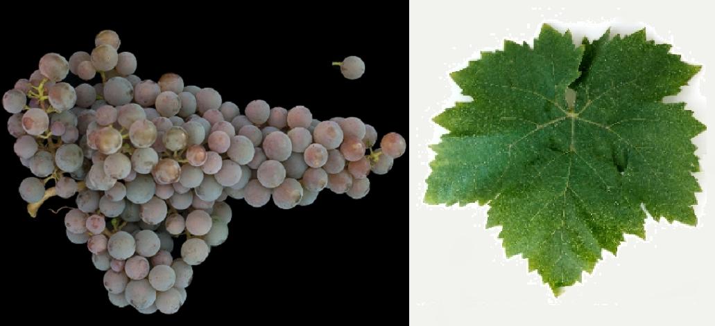 Hamvas - Weintraube und Blatt