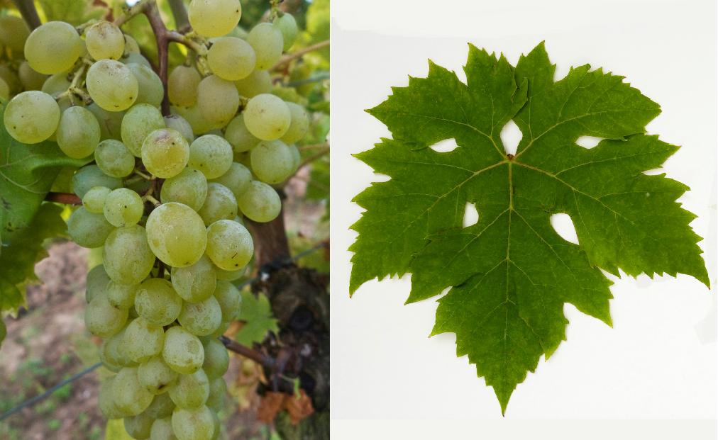 Kocsis Irma - grape and leaf