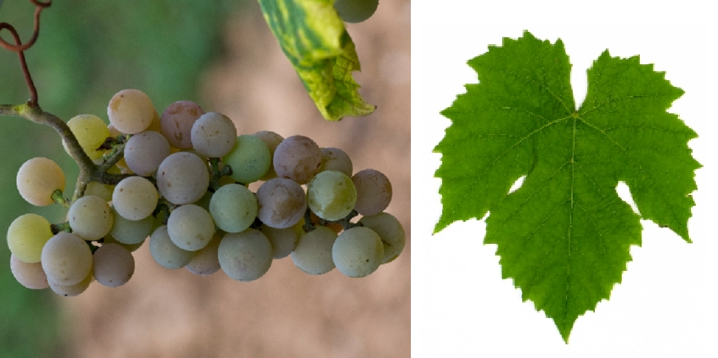 Hector - grape and leaf