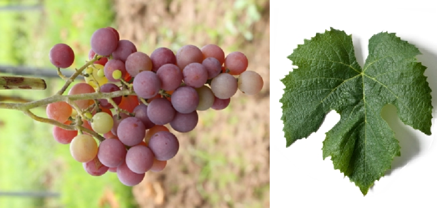 Brighton - grape and leaf