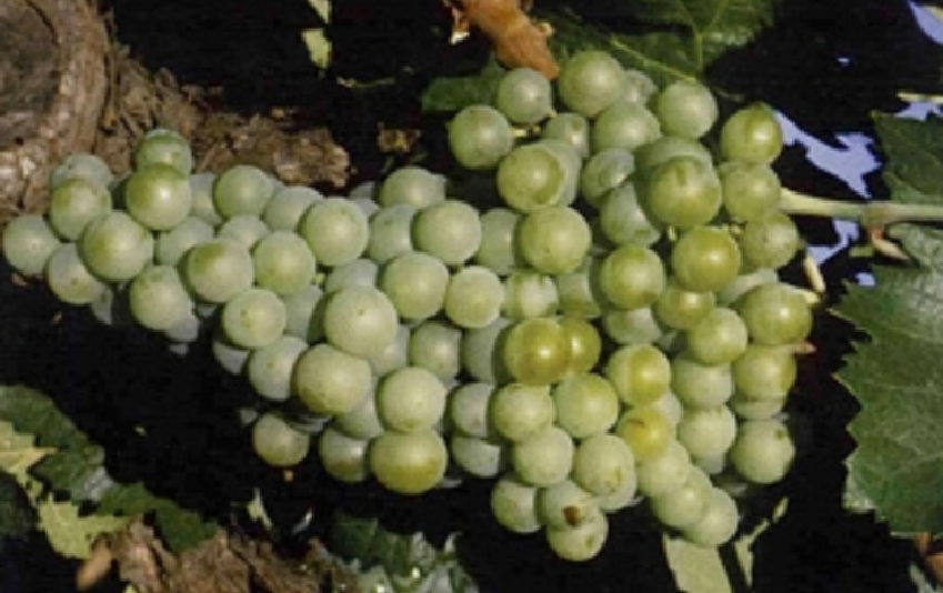 Cayetana Blanca - grape