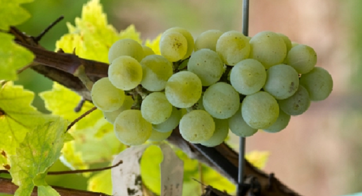 Valvin Muscat - grape