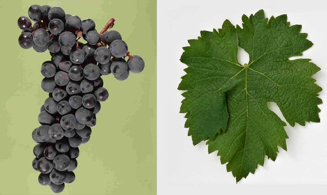 Bíborkadarka - grape and leaf