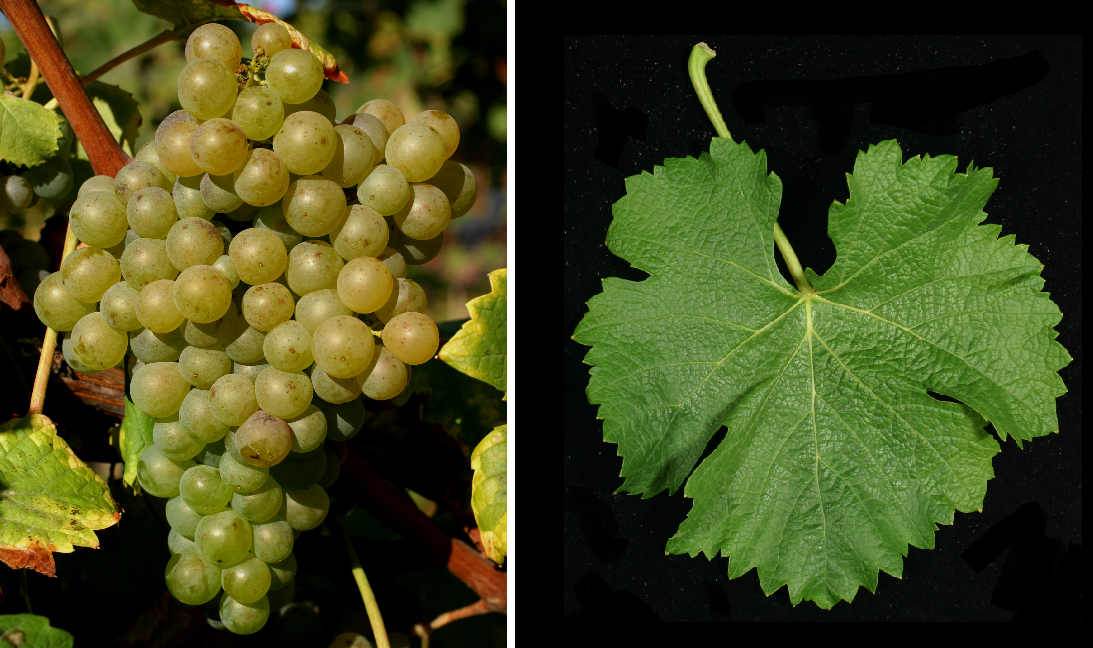 Semillon - grape and leaf