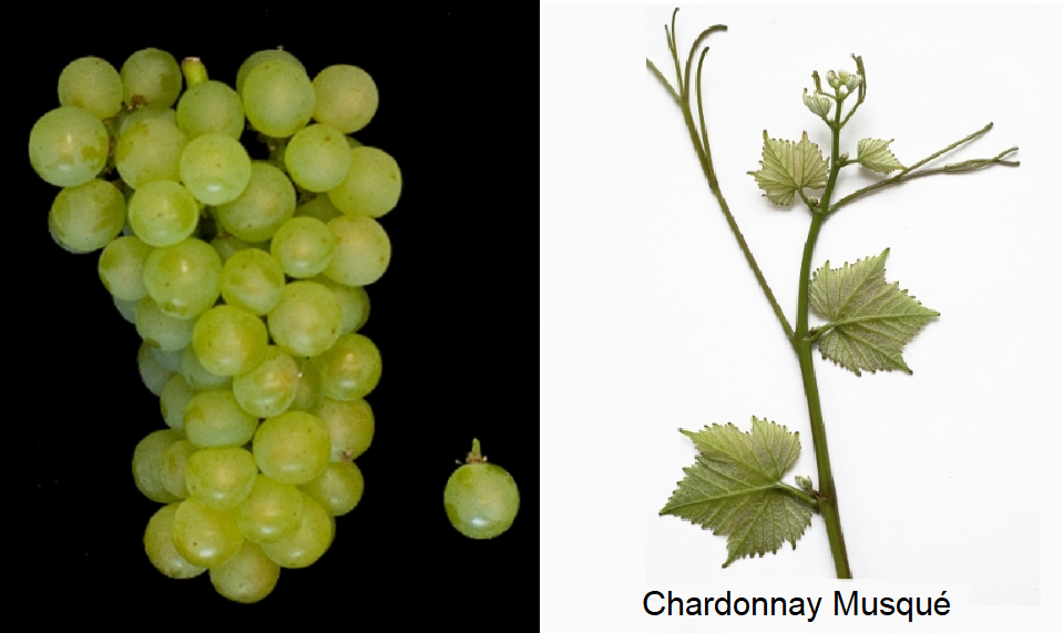Chardonnay Musqué - grape and leaf