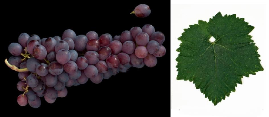 Stanušina Crna - Weintraube und Blatt