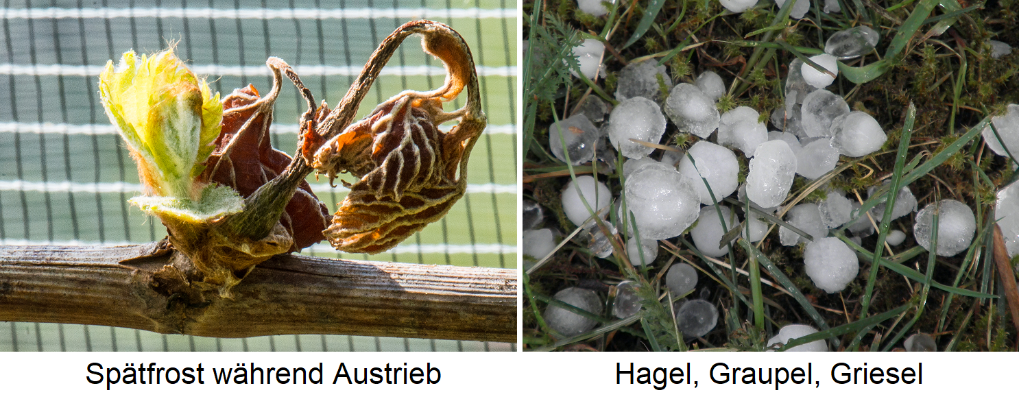 Weather - frost (late frost) and hail