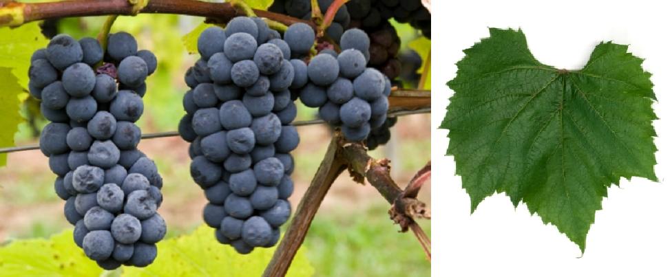Beta - grape and leaf